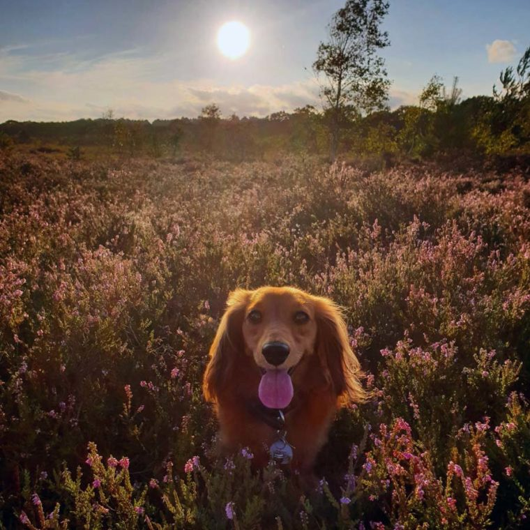 Miniature Long Haired Dachshund walking in the heather