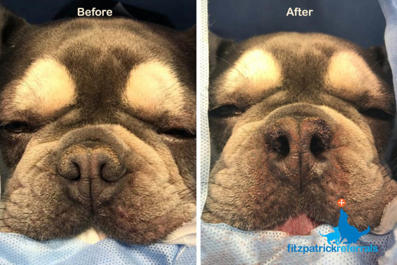 Before and after surgery images of 9-month-old French Bulldog puppy treated at Fitzpatrick Referrals Oncology and Soft Tissue hospital for Brachycephalic Obstructive Airway Syndrome (BOAS).