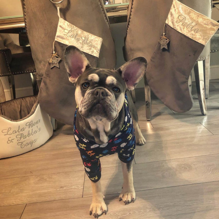 9 month old French Bulldog at home after surgery for Brachycephalic Obstructive Airway Syndrome (BOAS) at Fitzpatrick Referrals