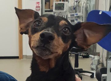 Miniature Pinscher Louis