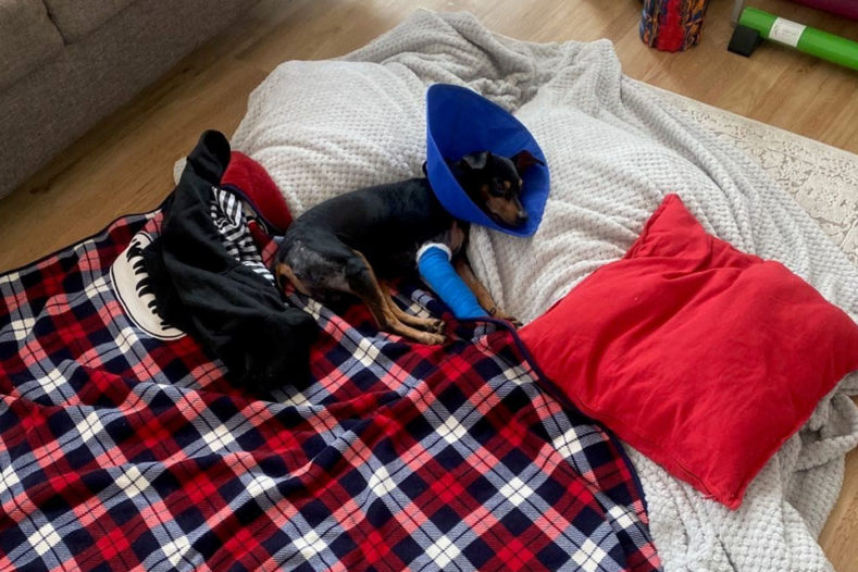 Miniature Pinscher Louis at home recovering