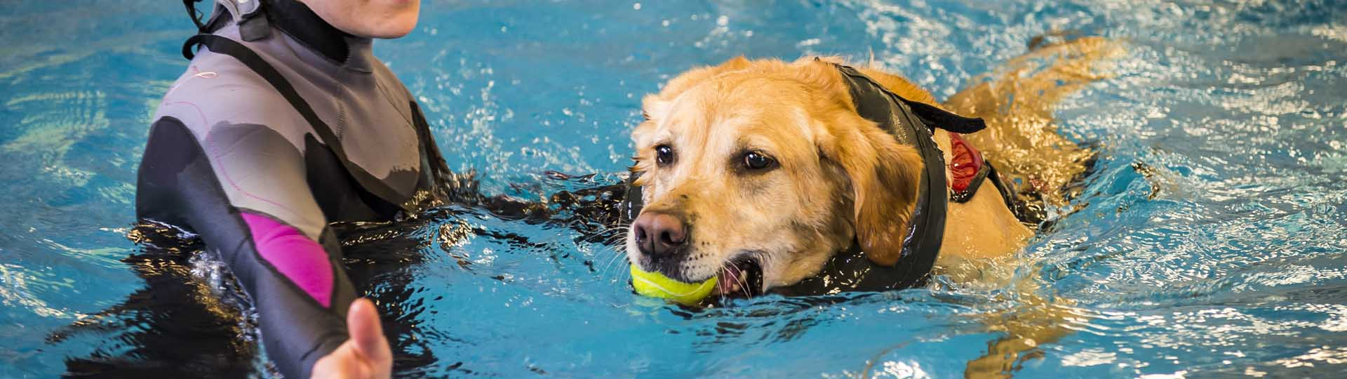 Golden Retriever having hydrotherapy in the pool