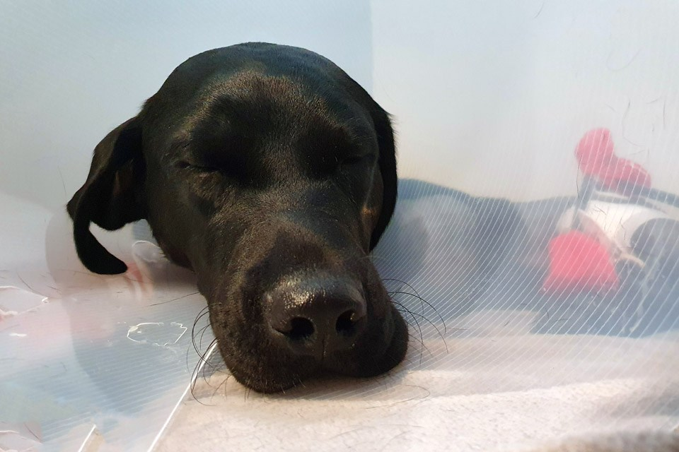 Back Labrador patient sleeping after surgery