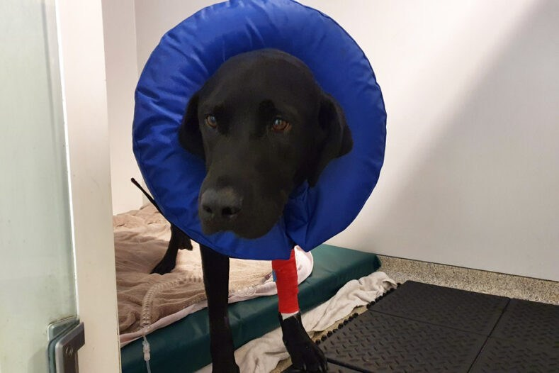Black Labrador patient recovering in the wards at Fitzpatrick Referrals