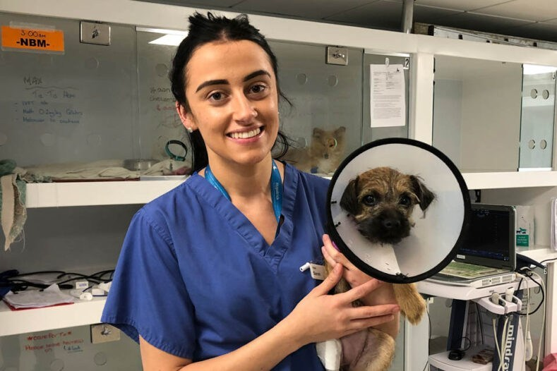 Veterinary surgeon with Border Terrier patient