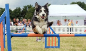 Grade 7 agility dog Fern