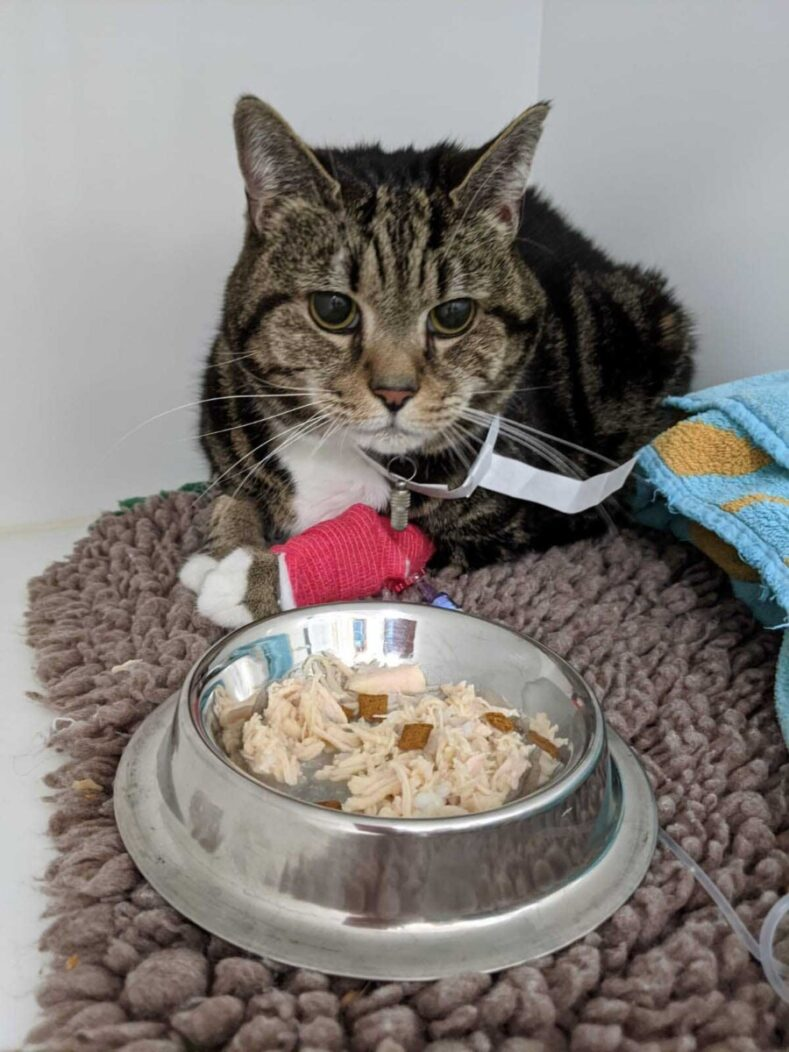 Feline patient with food at Fitzpatrick Referrals