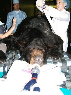 Bear with skin tumour and Professor Nick Bacon