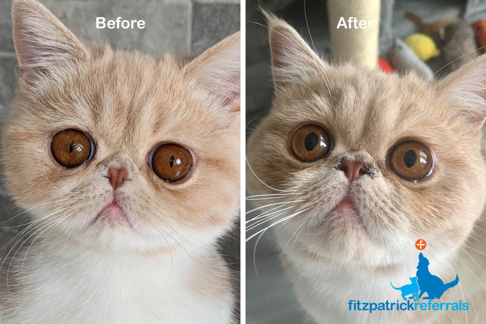 Exotic shorthair cat before and after BOAS surgery at Fitzpatrick Referrals