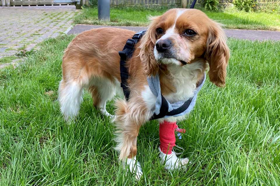 Cavalier King Charles Spaniel after maxillectomy surgery to remove an oral tumour at Fitzpatrick Referrals