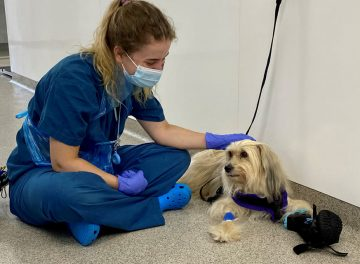 Chinese Crested dog Alfie being comforted by vet nurse