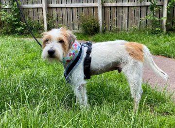 Jack Russell Terrier dog treated for gallbladder mucocele
