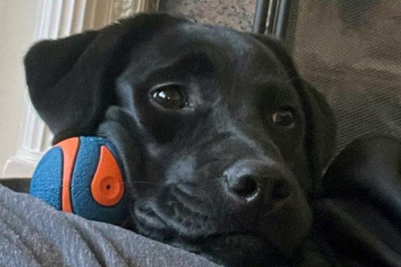 Black Labrador with ball