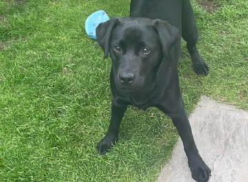Black Labrador in the garden