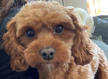 18 month old Cavapoo