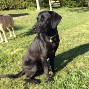 Black Labrador Merlin