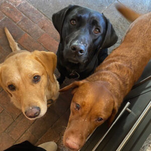 Black Labrador Merlin and his canine friends