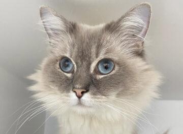 Ragdoll cat Freddie