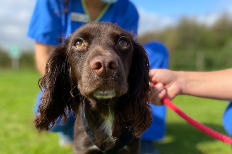 Cocker Spaniel having physiotherapy outside at Fitzpatrick Referrals