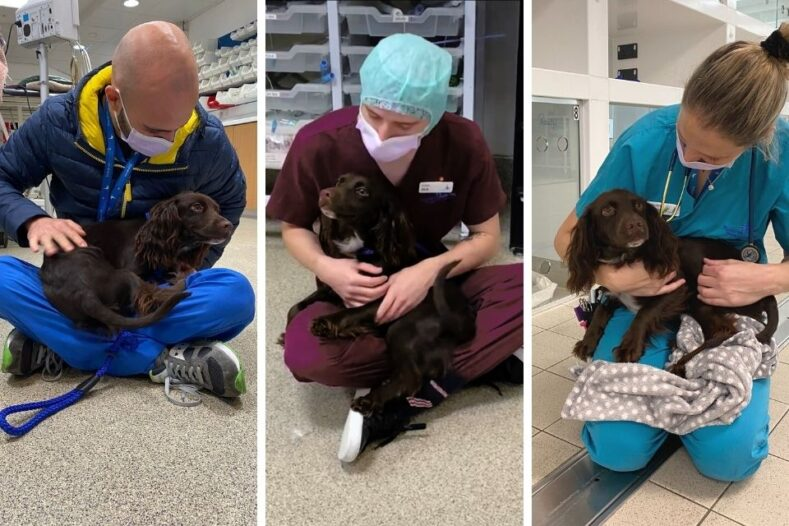 Cocker Spaniel puppy having cuddles with the team at Fitzpatrick Referrals