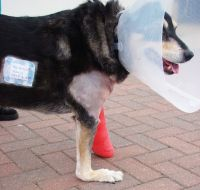 Traumatic Hyperextension in a dog