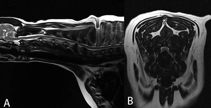 Cervical Spondylomyelopathy Wobbler Syndrome Fitzpatrick Referrals